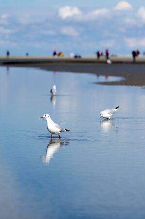 seres vivos: tres gaviotas en el agua en la playa por el mar del Norte