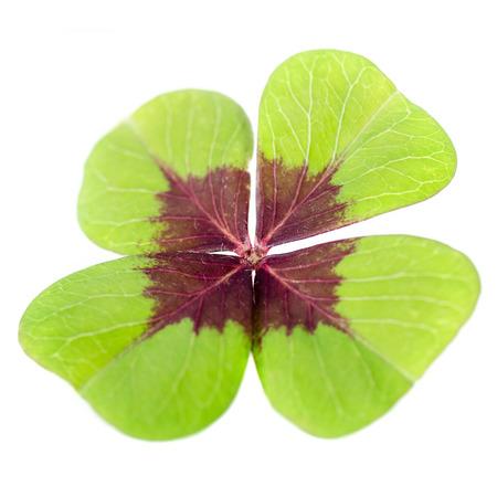 4-leaved cloverleaf before white background Stock Photo