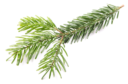 Fir branch isolated before white background photo