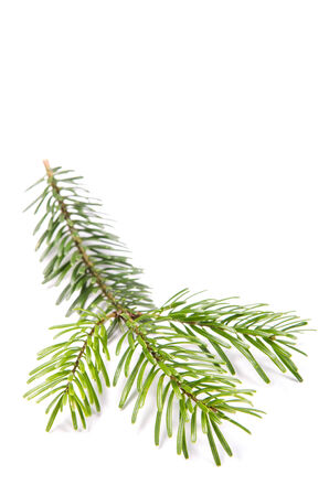 Fir branch isolates before white background photo