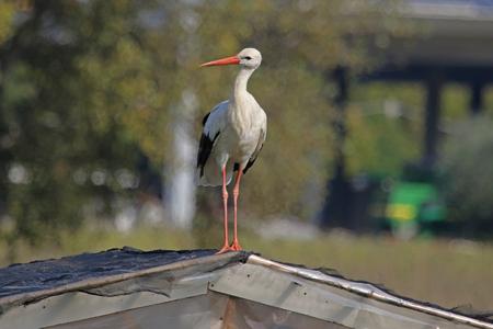 fortunate: curious stork