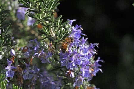 rosemary flower: honey bee on rosemary flower