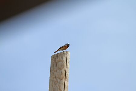 thrush: redstart on wooden pole phoenicurus thrush