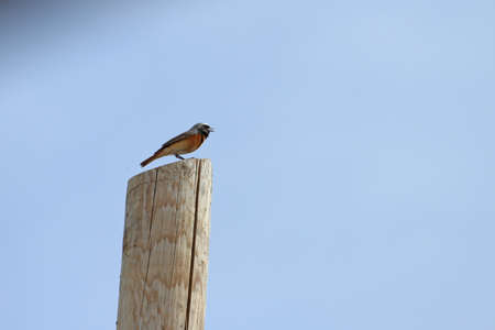 thrush: redstart on telegraph pole phoenicurus thrush