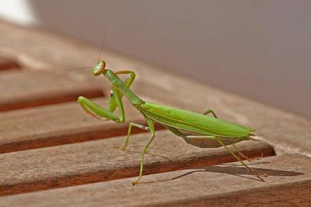 mantid: praying mantis close up mantid closeup
