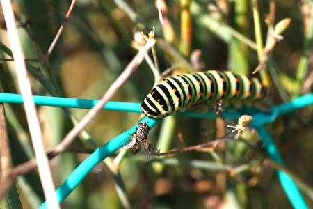 hairy legs: swallowtail butterfly caterpillar meets house fly on wild fennel plant