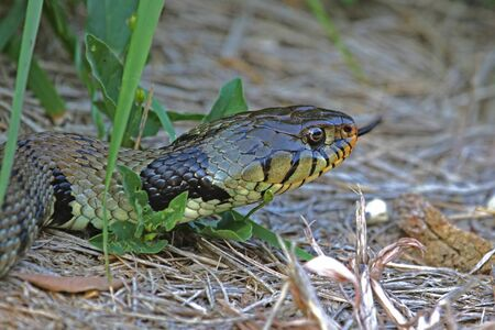 hissing Eurasian grass snake or natrix natrix often called ringed or water snake in Italy