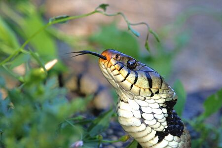 grass snake: close up of hissing Eurasian grass snake or natrix natrix often called ringed or water snake in Italy