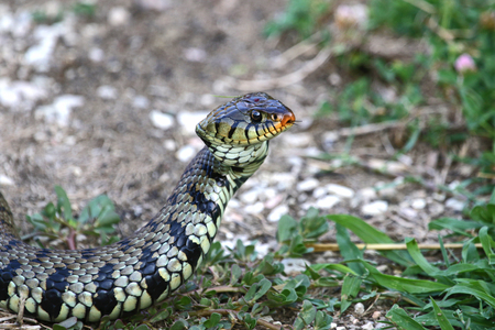 grass snake: Eurasian grass snake or natrix natrix often called ringed or water snake in Italy Stock Photo