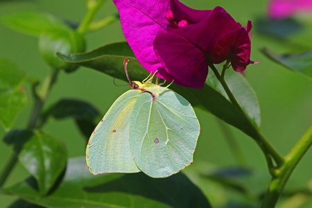 gonepteryx: Male Cleopatra butterfly on bougainvillea flower in Italy. Latin name gonepteryx cleopatra from pieridae group. Males have a yellow flash on the underside of the wing Stock Photo