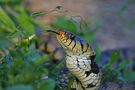 ringed: hissing Eurasian grass snake or natrix natrix often called ringed or water snake in Italy close up