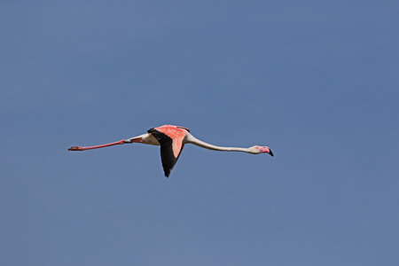 Flamingo or fenicottero phoenicopterus ruber bird flying in flight in Comacchio Po Delta Italy in May by Ruth Swan Stock Photo