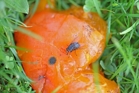 stable fly or house fly close up on persimmon fruit Latin name stomoxys calcitrans muscidae or musca domestica in Italy by Ruth Swan