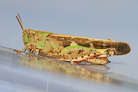 mottled grasshopper close up Latin name myrmeleotettix maculatus on shiny silver surface in summer in Italy by Ruth Swan