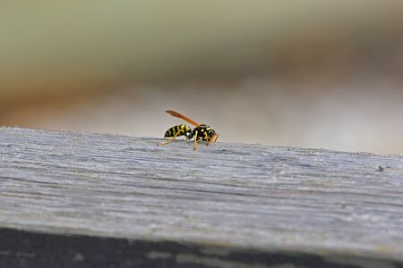 paper wasp: Tree wasp, or paper wasp, wings raised close up Latin name pollistes gallicus dolichovespula sylvestris stripping wood from garden furniture in Italy by Ruth Swan