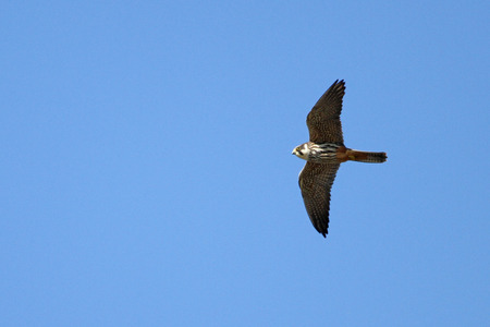 Hobby raptor or falco subbuteo falcon or hawk in mid flight and close to in Montecassiano Macerata Italy by Ruth Swan Reklamní fotografie - 72363739