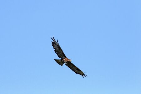 zopilote: common buzzard or buteo buteo or poiana raptor falcon soaring in flight in Italy by Ruth Swan