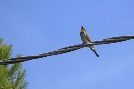 bee eater Latin name merops apiaster eating a wasp very close up perched on a wire in Italy gruccione by Ruth Swan