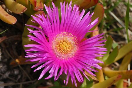 Hottentot fig close up Latin name carpobrotus edulis with a bright pink flower and yellow stamens in Italy by Ruth Swan Banque d'images