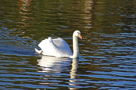 mute swan elegantly swimming