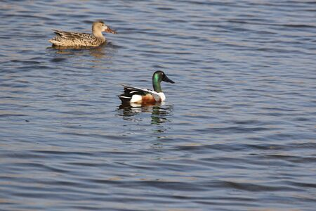 Male shoveler duck and female behind Latin name anas clypeata family anatidae shoveling water in the Sentina nature reserve in Poto D�Ascoli Italy by Ruth Swan Stock Photo