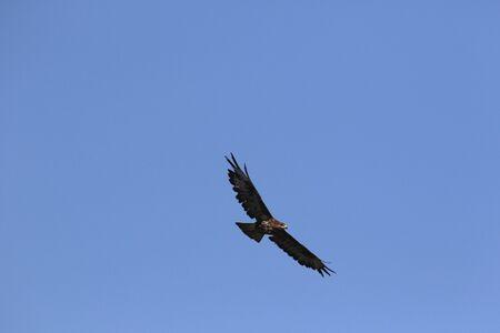 common buzzard or buteo buteo or poiana raptor falcon soaring in flight in Italy buzzard, common buzzard, hawk, flying, bird, falcon, wings, sky, soaring, buteo, buteo buteo, blue