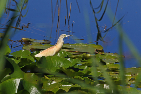 squacco heron or ardeola ralloides sgarza ciuffetto on a lily pad in Colfiorito nature reserve Italy a breeding adult similar to a bittern vulnerable status