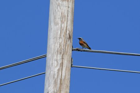 wire: male redstart bird Latin name phoenicurus family muscicapidae feeding on insects hatching from a telegraph or telephone pole in Italy in springtime