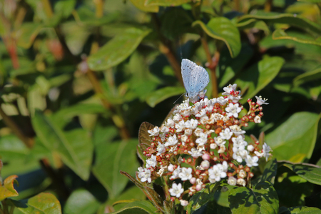 Holly blue butterfly Latin name celastrina argiolus facing left close up to right of frame feeding on a viburnum bush or flower caprifoliaceae in springtime in Italy