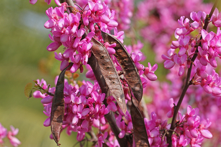 Judas tree latin name circis siliquastrum with purple or shocking judas tree latin name circis siliquastrum with purple or shocking pink flowers showing seed pods from mightylinksfo