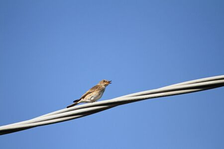 Spotted flycatcher female Latin name muscicapa striata vulnerable status perched on a wire singing in Italy