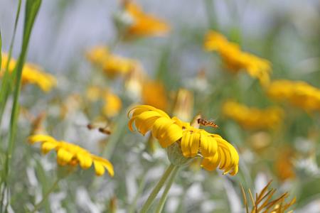 European hover-fly Latin name episyrphus balteatus coming in to land on gazania rigens or splendens variegata also known as treasure flower Stock Photo
