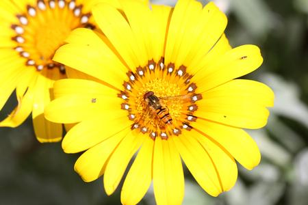 European hover-fly Latin name episyrphus balteatus feeding on gazania rigens or splendens variegata compositae asteraceae also known as treasure flower in Italy