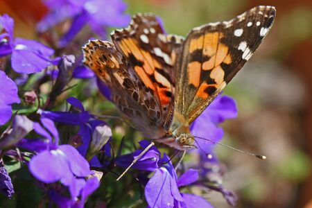 Painted lady butterfly in summer very close up Latin cynthia cardui or vanessa feeding on lobelia flowers campanulaceae in Italy