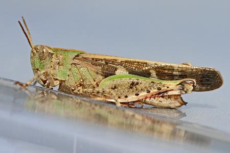 mottled grasshopper close up Latin name myrmeleotettix maculatus on shiny silver surface in summer in Italy