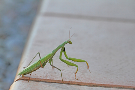 Praying mantis or mantid very close up Latin name mantis religiosa settled on a patio step in summer in Italy