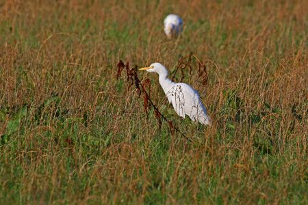 cattle egrets in winter feeding on flooded agricultural field in Central Italy starting to show breeding colours Latin name bubulcus ibis and once called a buff-backed heron