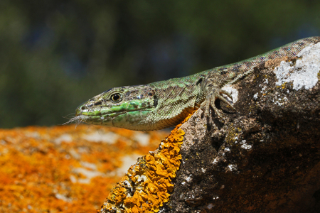 lacertidae: Italian wall lizard bright green and close up Latin name podarcis sicula muralis having just bitten a kitten that was trying to catch it with cat hair in its mouth on a roof tile or pantile in Italy also called lucertola from the lacertidae family Stock Photo