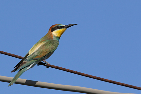 bee eater Latin name merops apiaster very close up perched on a wire in Italy gruccione