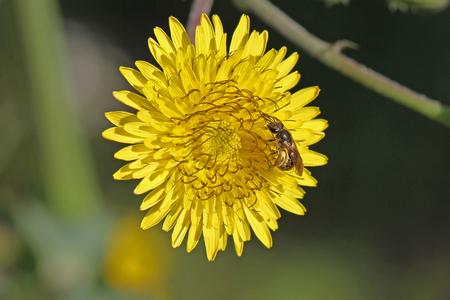 female bee anthophora plumipes or a honey bee Latin name apis mellifera collecting pollen on a yellow prickly sow-thistle flower Latin name sonchus asper or oleraceus Stock Photo