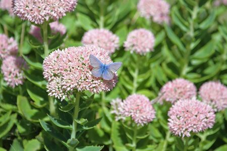 common blue butterfly showing full blue colour color Latin name polyommatus icarus boalensis on pink iceplant flowers Latin name sedum cauticolum or cauticola in Italy
