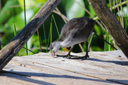 Juvenile or young coot Latin name fulica atra pecking and looking for insects on a jetty in the marshes in Colfiorito national park in Italy. Stock Photo