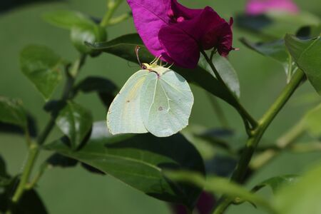 Male Cleopatra or brimstone butterfly on bougainvillea flower in Italy. Latin name gonepteryx cleopatra rhamni from pieridae group with yellow flash on wing
