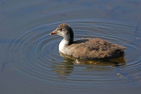Juvenile or young coot Latin name fulica atra swimming in the marshes in Colfiorito national park in Italy Stock Photo