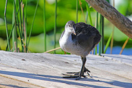 Juvenile or young coot Latin name fulica atra looking for insects on a jetty in the marshes in Colfiorito national park in Italy