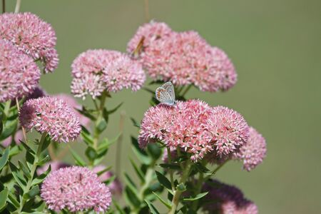 common blue butterfly blue bodied but before showing blue colour color with orange spots and pale wings Latin polyommatus icarus boalensis on pink iceplant Latin sedum cauticolum cauticola in Italy Stock Photo