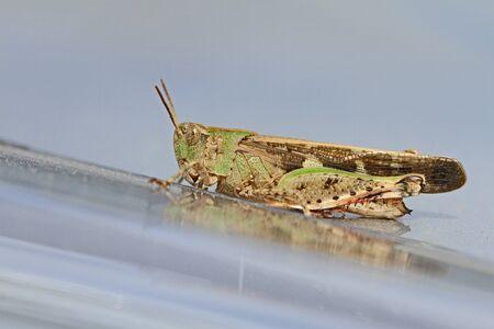 Mottled grasshopper close up Latin name myrmeleotettix maculatus on shiny silver surface in summer in Italy Stock Photo