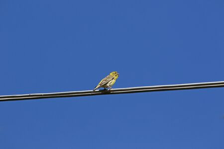 serin bird Latin name serinus serinus singing and dancing on a telegraph wire in spring in Italy