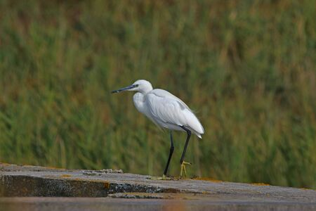 Little egret or white heron closeup Latin name egretta garzetta clearly showing yellow feet parading on a wall in the Po Delta national park in Comacchio Italy Reklamní fotografie