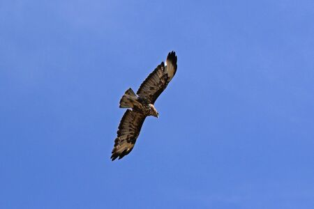 common buzzard or buteo buteo or poiana raptor close up soaring in flight in Italy Imagens